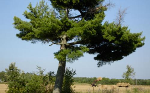 Old Pine Posting Tree